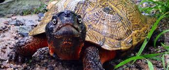 north american wood turtle care sheet north american wood turtle