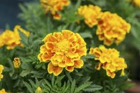 flower blooming marigold plants not flowering reasons marigolds are not blooming