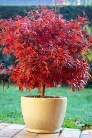 best 25 dwarf japanese maple ideas on pinterest japanese maple