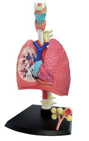 7 best sistema respiratorio images on pinterest respiratory