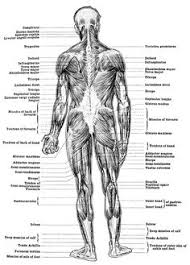 Anatomy Of Human Back Muscles Details Of The Human Back Muscles Most Tips Say That I Should