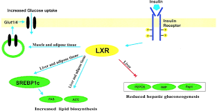 putative metabolic effects of the liver x receptor lxr diabetes