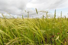 how to grow teff grass tips on planting teff grass as cover crops