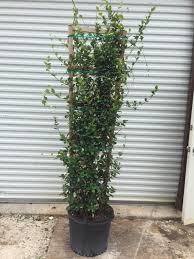 star jasmine on trellis locate u0026 find wholesale plants plantant com