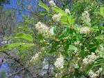 Image result for Prunus serotina var. virens