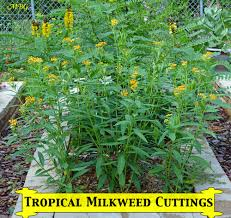 Tropical Plants Pictures - grow from cuttings tropical milkweed propagation