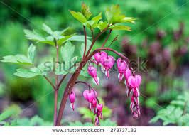 Bleeding Hearts Flowers Bleeding Heart Flower Stock Images Royalty Free Images U0026 Vectors