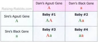 rabbit genetics easy to understand basics of genetic inheritance