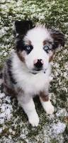 australian shepherd fur blue merle aussie puppy tap the pin for the most adorable