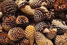 benefits of pine cone extract archives vine vera