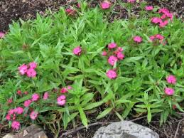 Fragrant Bedding Plants - dianthus plants how to grow and care for carnations pinks and