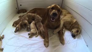 australian shepherd zucht bayern hundewelpen geboren am 21 8 13 youtube