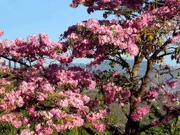 Asia Khan Bad Orb Maquilishuat El árbol Nacional De El Salvador Travel