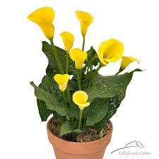 yellow calla calla bulbs for sale yellow calla plant
