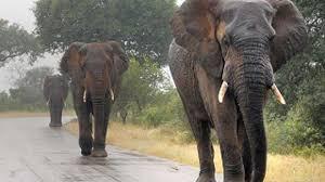 default 1464357611 2422 elephants hear rain hundreds kilometers jpg