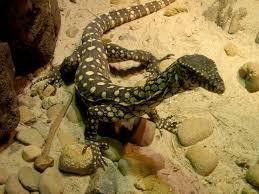 70 best lizard images on pinterest lizards reptiles and amphibians