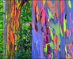 my favorite tree the rainbow eucalyptus i know they u0027ve been