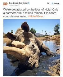 San Diego Zoo Safari Park     s white rhino Nola dies leaving just     Daily Mail