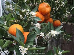 fruit and flowers orange tree with fruit and flowers s fave photo