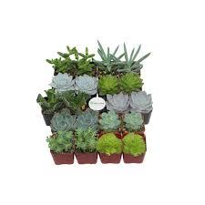 flowering succulent succulents u0026 cactus plants garden plants