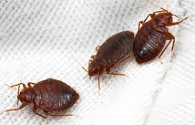 Bean Leaves Bed Bugs 7 Top Home Remedies To Get Rid Of Bed Bugs Fast Naturally