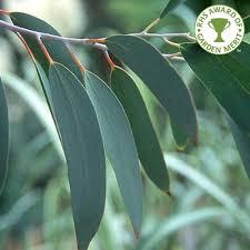 eucalyptus trees buy gum trees ornamental trees ltd