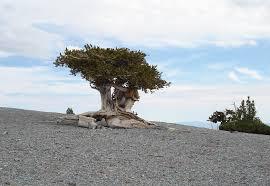 parkfairfax native plant sale great basin bristlecone pine pinus longaeva california native