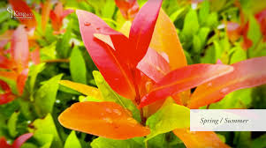 photinia red robin information and advice youtube