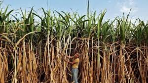 Cabinet Committee On Security India Punjab Cabinet Hikes Sugarcane Price By Rs 10 Per Quintal Punjab