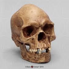 skulls general bone clones inc osteological reproductions