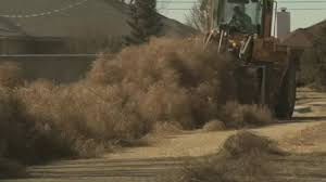 new mexico residents hit by tumbleweed invasion youtube