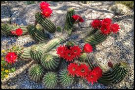 Flowers In Scottsdale Az - springtime cactus flowers from our walks in scottsdale arizona