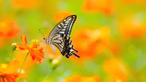 butterfly flower butterfly on flower ultra hd wallpaper uhd wallpapers net