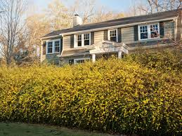 winter jasmine southern living