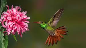 hummingbird san diego zoo animals u0026 plants