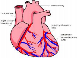 Diagram Heart Anatomy Heart Coronary Artery System Diagram Of The Human Heart The