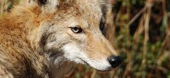 Maryland Wild Animals images Coyotes in maryland where they came from and what to expect jpg