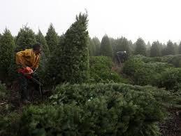 tree in shorter supply pricier