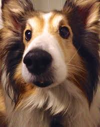 sheltie x australian shepherd my nanny dog is a sheltie what is yours no dog about it blog