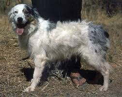 lifespan of australian shepherd what u0027s wrong with white aussies australian shepherd health