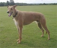 belgian shepherd x greyhound lurcher dog breed information and pictures