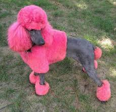 standard poodle hair styles poodles smart active and proud creative grooming poodle and dog