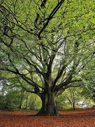 best 25 big tree ideas on trees beautiful oak tree