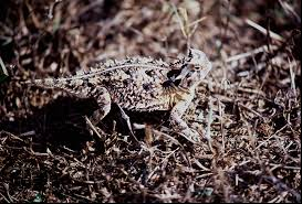 Horny Toad Meme - an appreciation long live the texas horny toad buzzworthy