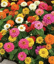 zinnia flower thumbelina mix zinnia seeds and plants annual flower garden at