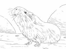guinea pig smelling food coloring page color luna