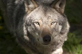 wolf surname origin and meaning