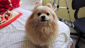 giving my dog a haircut ddo ri the pomeranian youtube