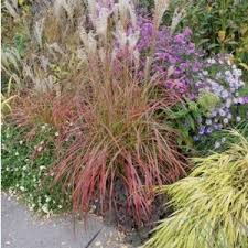 ornamental grass for sale buy at nature nursery