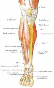 Human Anatomy Anterior Anatomy Of The Leg Muscles And Tendons Leg Muscles And Tendons